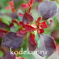 Berberis thunbergii Fire Ball