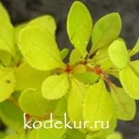 Berberis thunbergii Golden Carpet