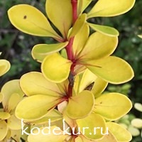 Berberis thunbergii Golden Horizont