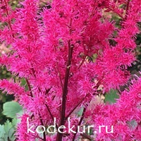 Astilbe hybrid Mighty Chocolate Cherry