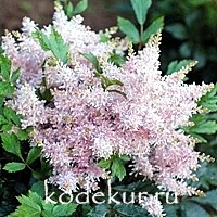 Astilbe Short n' Sweet. Sugarberry