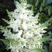 Astilbe Younique White