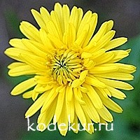 Doronicum Spring Beauty