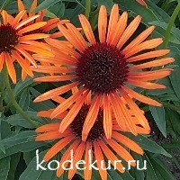 Echinacea purpurea Orange Passion
