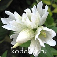 Gentiana makinoi White Magic