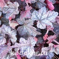 Heuchera Blueberry  Muffin