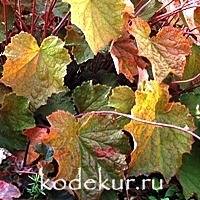 Heuchera Brownis