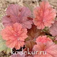 Heuchera Cherry Cola