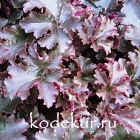 Heuchera Chocolate Ruffles