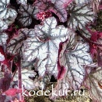 Heuchera Jade Gloss