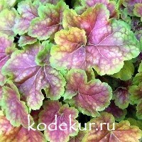 Heuchera Miracle