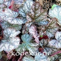 Heuchera Pewter Moon