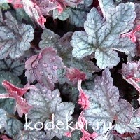 Heuchera Rave on