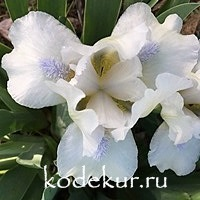 Iris pumila Snow Season
