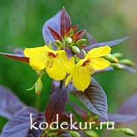 Lysimachia purpurea  Fire Cracker