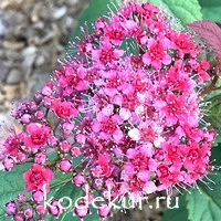 Spiraea Double Play Red
