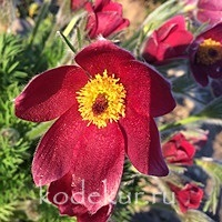 Pulsatilla vulgaris Red