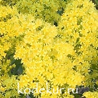 Solidago     hybrida Loysder Crown